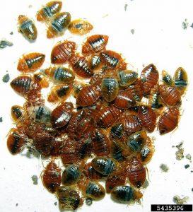 Bedwantsen (Cimex lectularius) in een groepje. Bron: Allen Szalanski