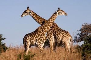 Wie heeft trek? Het dijbeen van de giraffe stond in Pompeï op de menukaart . Bron: Wikimedia Commons/Luca Galuzzi