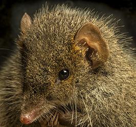 Het seksverslaafde buideldier is ontdekt in Sprinbook National Park, Australië. Bron: Gary Cranitch