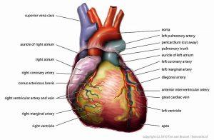 Het menselijk hart is normaal gesproken ietwat langgerekt. Bron: Wikimedia Commons