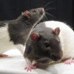 Een dosis 'jong bloed' kan wonderen doen voor een dementerend brein, zo blijkt uit onderzoek met muizen. Bron: Wikimedia Commons/Jason Snyder