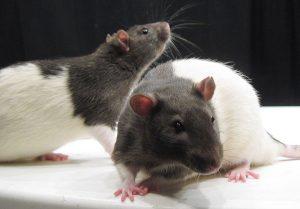 Onderzoekers schakelden herinneringen van ratten uit. Bron: Wikimedia Commons/Jason Snyder