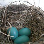 De roodborstlijster legt blauwe eieren - een trucje dat is afgekeken bij de dinosauriërs? Bron: Wikimedia Commons/DDima