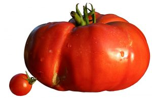 Een cherrytomaat en zijn grote broer, de beefsteak tomaat.  Bron: Wikimedia Commons/Berrucomons