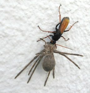 Een spinnendoder sleept een buitgemaakte spin naar haar nest.  Bron: Wikimedia Commons/John Richfield