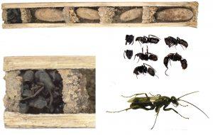 De buitenste muur van het nest van de spinnendoder (helemaal links) zit vol met dode mieren. Bron: Staab et al
