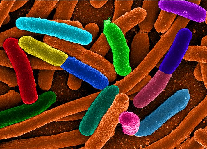 Ook E. coli-bacteriën raakten bestand tegen antibiotica door de moleculaire signalen.