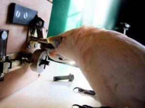 Kaketoe Muppet schroeft een boutje los. Bron: Alice Auersperg