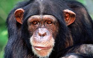 De chimpansee (Pan troglodytes)