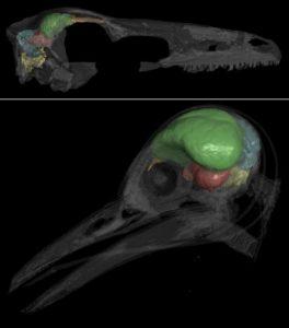 De CT-scans van een Zanabazar junior, een gevederde dino (boven), en een moderne specht (onder). De gekleurde hersengebieden zijn de hersenstam (geel), de kleine hersenen of cerebellum (blauw), achterhoofdskwabben (rood), grote hersenen of cerebrum (groen) en de reukkolf (oranje). Bron: AMNH/A. Balanoff