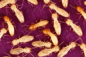 Een andere termietsoort, Coptotermes formosanus. De soldaten hebben rode kopjes, de werkers zijn wit.