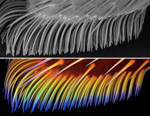 De plakkerige setae van een lieveheersbeestje (Coccinella septempunctata). Boven: het beeld van een rasterelektronenmicroscoop. Onder: het beeld van de confocale lasermicroscoop. De meest flexibele delen van het pootje zijn blauw gekleurd. Bron: Jan Michels