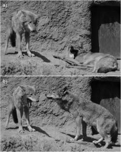 Ook voor wolven is gapen besmettelijk. Eerst gaapt de wolf rechts, en kort daarop is de linkerwolf aan de beurt. Bron: Teresa Romero