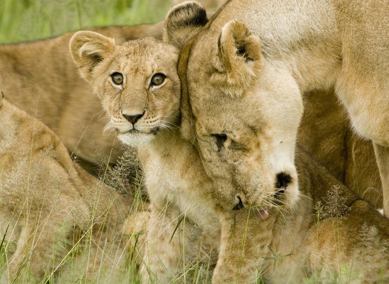 Een moederleeuw met haar jong. Bron: Wikimedia Commons/David Dennis