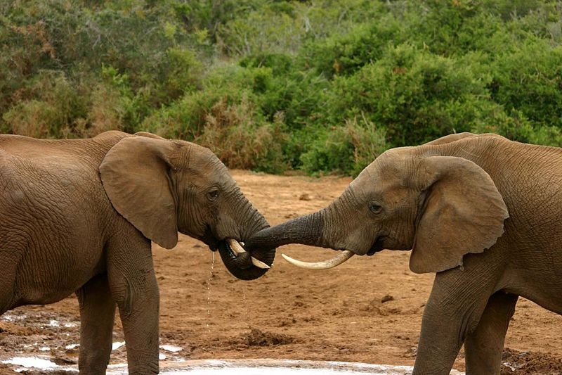 Olifanten in dierentuinen zijn vaak te dik. Bron: Wikimedia Commons