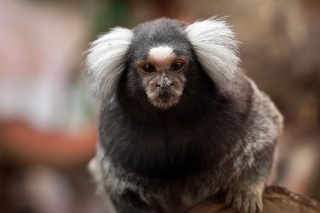 Een mamoset-aapje is een beleefde gesprekspartner. Bron: Leszek Leszczynski