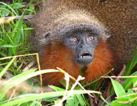 Dit aapje spint als een kat wanneer hij tevreden is. Bron: Thomas Defler