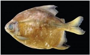 Het menu van deze piranha is strikt vegetarisch. Bron: Tommaso Giarrizzo