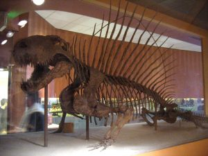 De Dimetrodon had een opvallende 'rugvin'. Bron: Wikimedia Commons/Kristof vt