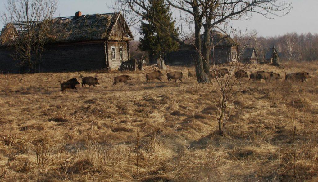 Het aantal wilde zijnwen rond Tsjernobyl neemt in hoog tempo toe. Foto: Valeriy Yurko