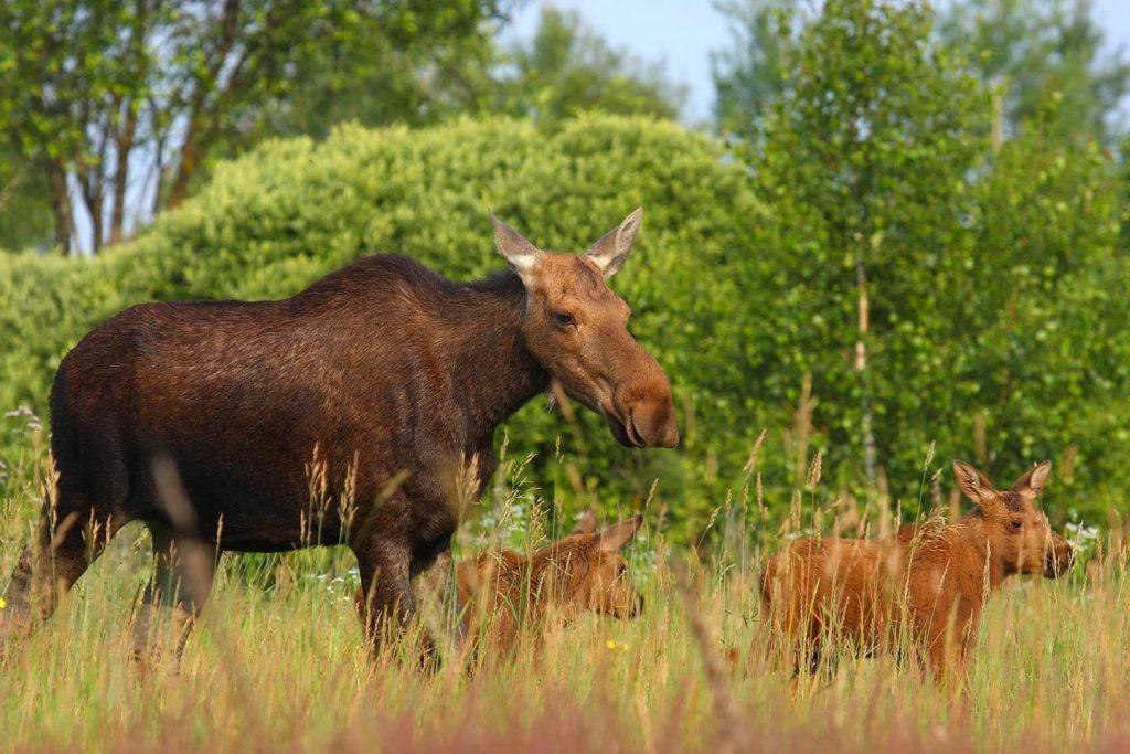 Een elandenfamilie wandelt ongehinderd door de 'vervreemdingszonde' rond Tsjernobyl. Valeriy Yurko/Polessye State Radioecological Reserve