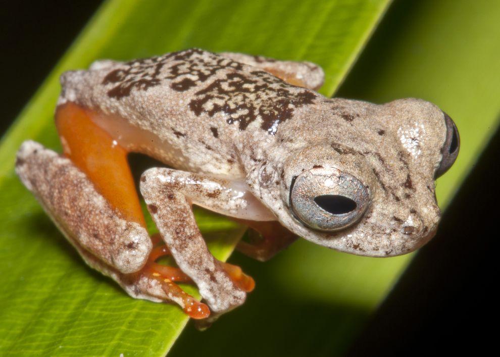 Dendropsophus ozzyi. Bron: Marcel Sturac.
