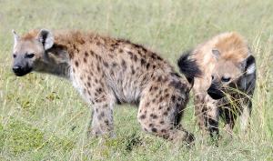 Hyena's communiceren met elkaar via de zure geur van hun uitwerpselen. Bron: MSU