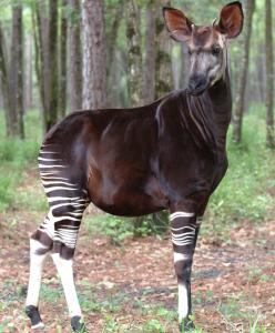 11-26 Okapi