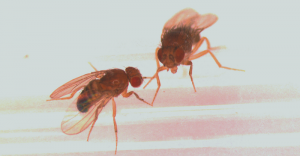 Vliegjes in het lab van Scott Pletcher.  Bron: Universiteit van Michigan.