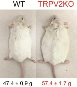 Deze twee muizen hebben voor wetenschappelijk onderzoek twee maanden op een dieet met veel vet geleefd. Beeld: NIPS/NINS