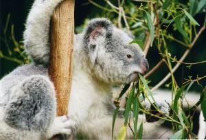 Koala.  Bron: Arnaud Gaillard