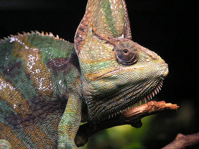 De kop van een jemenkameleon (Chamaeleo calyptratus) Bron: Frank Wouters