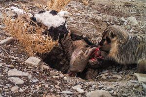 Zilverdas begraaft dode koe