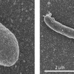 Twee vormen van E. coli
