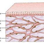 In menselijk weefsel waarvan we tot nu toe dachten dat het compact was, blijkt een stelsel van met vloeistof gevulde holtes te zitten.