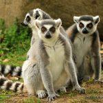 Ringstaartmaki's zijn sociale dieren Credit: Ipek G. Kulahci