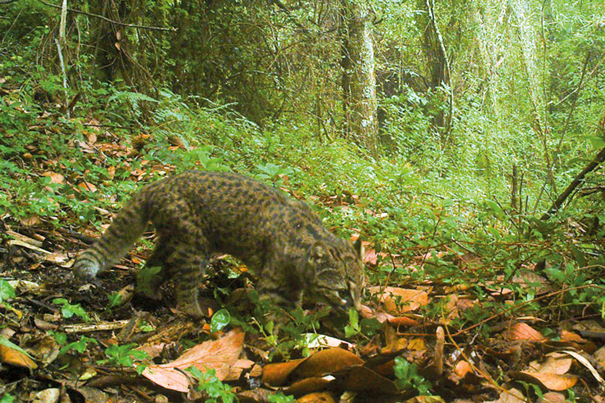 Chileense wilde katten ter grootte van kittens dreigen uit te sterven