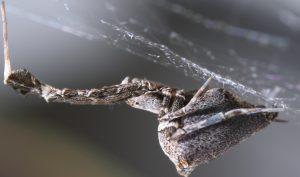 De Uloborus plumipes, ofwel de kaskaardespin, maakt ongelofelijk sterke en dunne draden. Bron:  Hartmut Kronenberger & Katrin Kronenberger/Oxford University