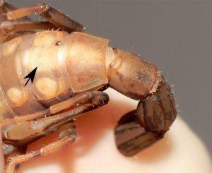 Een schorpioen zonder anus. Op de plek van de pijl hoopt poep zich op (witte vlek). Bron: C.I. Mattoni et al. PLOS ONE
