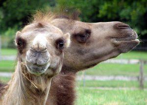 Soldaten gebruikten kamelen voor transport, en soms stonden ze op het menu. Bron: Wikimedia Commons/Arpingstone