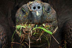 De reuzenschildpadden van de Galapagoseilanden knabbelen graag aan een exoot.  Bron: Christian Zeigler