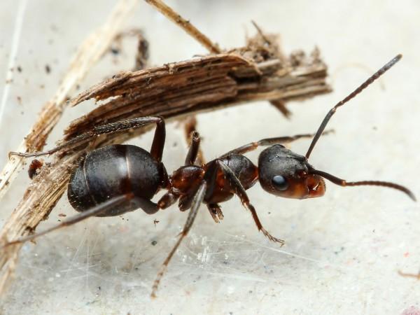 Mieren vermijden gemakkelijk files. Bron: Wikimedia Commons/Roman Borovsky