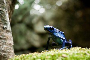 De blauwe pijlgifkikker wordt bedreigd door de schimmelinfectie die het immuunsysteem uitschakelt. Bron: Flickr / eviltomthai