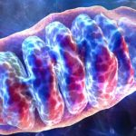 mitochondrium-mitochondrion-mitochondria-mitochondriën-cel