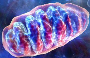 mitochondrium-mitochondrion-mitochondria-mitochondriën-cellen