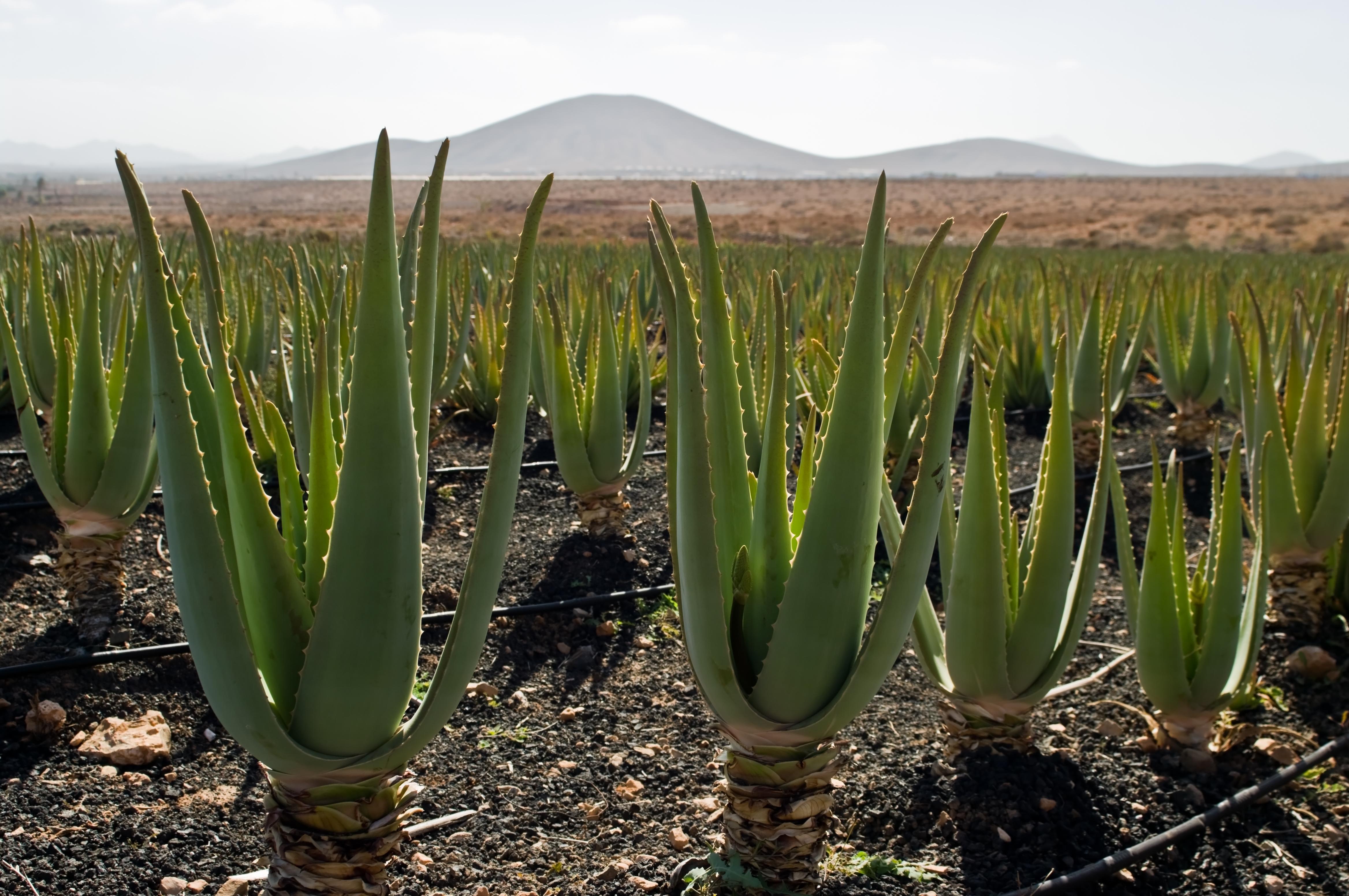 De mysterieuze oorsprong van wonderplant alo vera new for Pisos de alquiler en alovera