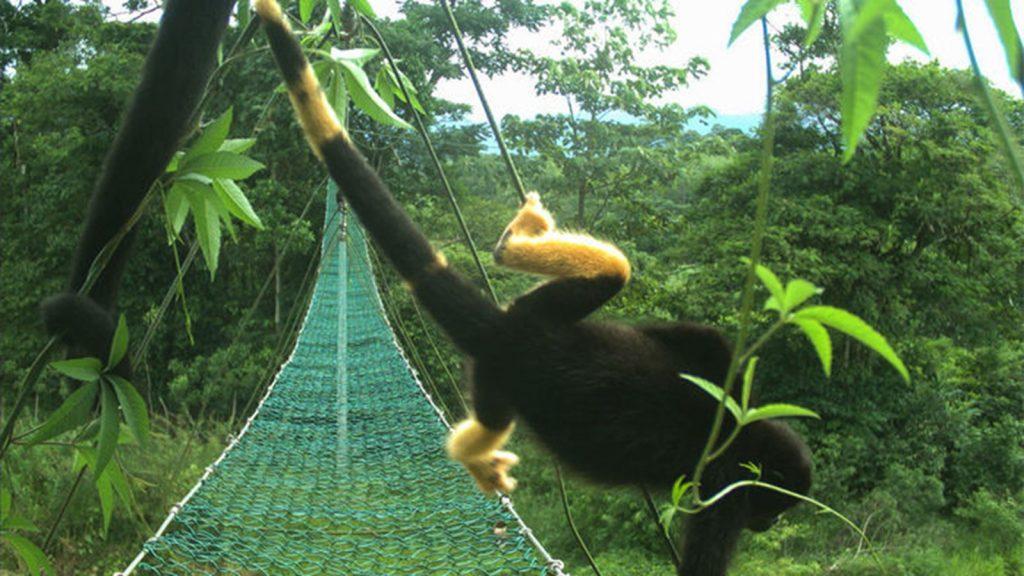 Lichte vlekken maken de mantelbrulapen zichtbaarder voor vijanden. Bron: Panthera Costa Rica
