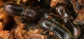 Ambrosiakevers verdelen de taken in het schimmeltuintje, de één ruimt de tunnels op, de ander het nest Foto: Gernot Kunz