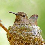 Met een persoonlijke beschermvalk in de buurt kunnen kolibries veilig broeden.