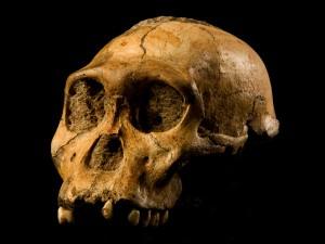Een schedel van Australopithecus Sediba, zoals ontdekt in 2008.
